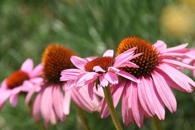Ismerd meg a kasvirág jótékony hatásait.