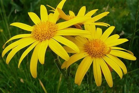Gyulladáscsökkentő gyógynövények árnika
