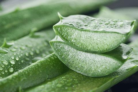 Gyulladáscsökkentő gyógynövények aloe vera