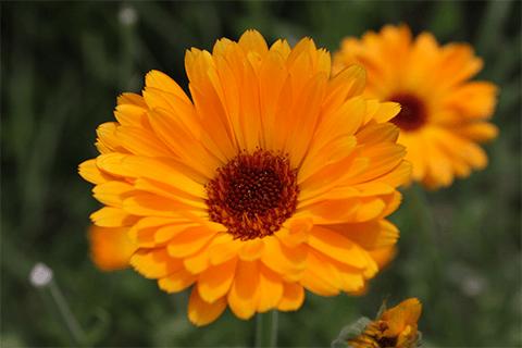 Gyulladáscsökkentő gyógynövények körömvirág