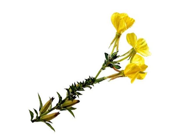 Ismerd meg a ligetszépét. Ez a nyári gyógynövény rendkívüli hatásokkal rendelkezik. Segít meggátolni az érelmeszesedést és az ezáltal kialakult artériás betegségeket.