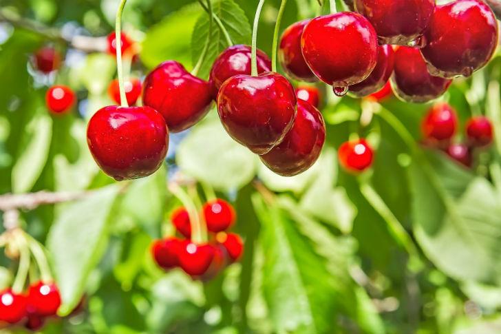 A cseresznye nagyszerű élettani hatásai