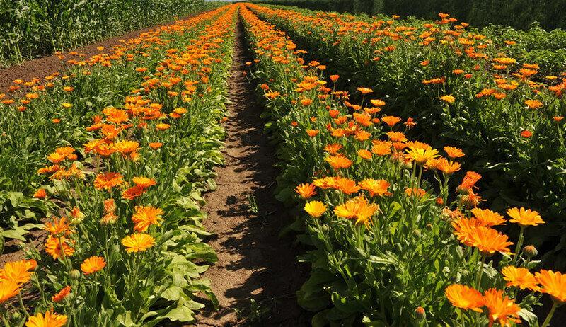 A körömvirág nagyszerű élettani hatásai