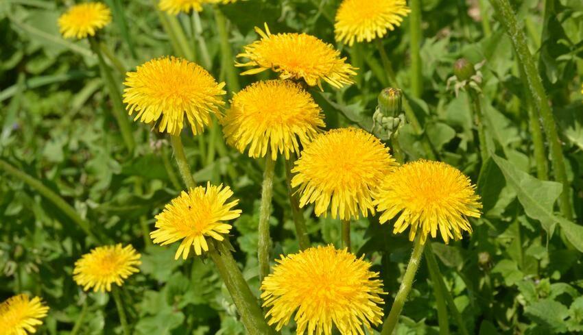 Hatásos gyógynövények aranyér ellen.