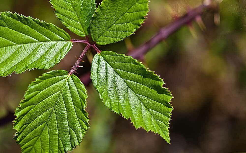 Az erdei szederlevél hatásai.