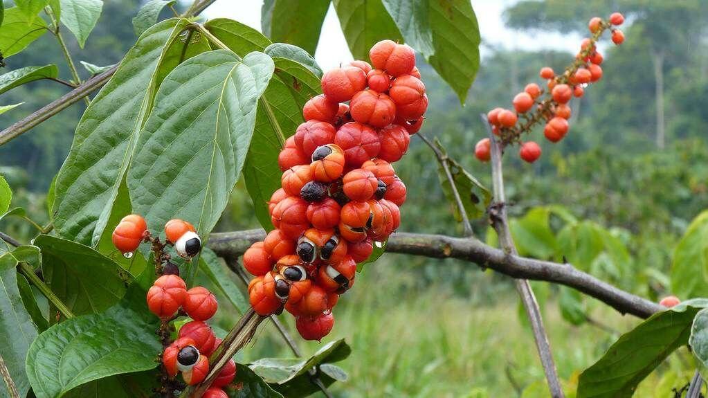 A guarana por nagyszerű hatásai!