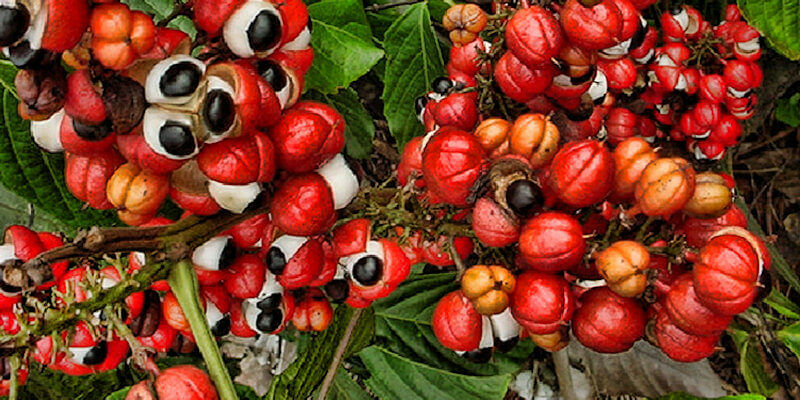 Több a koffein a guarana-ban mint a kávéban!