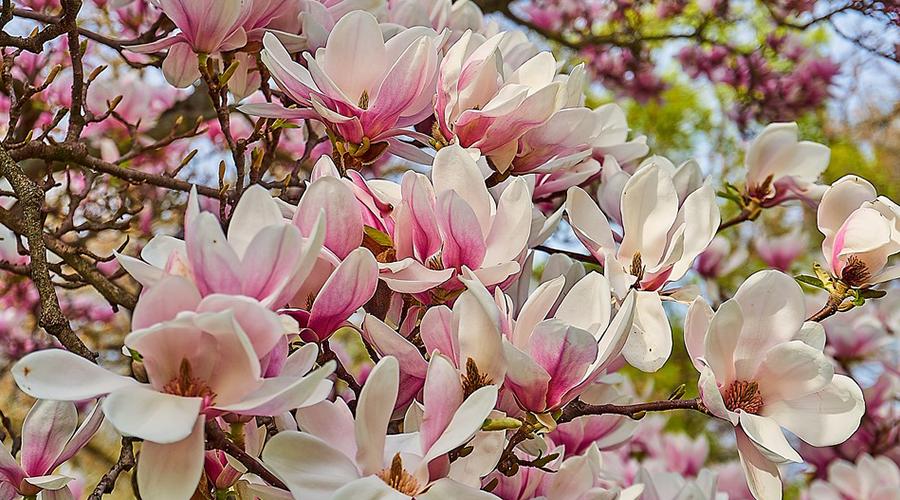 Virágzó liliomfa