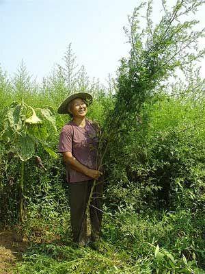 Ez a növény megöli a rákos sejtek 98%-át 16 óra leforgása alatt.