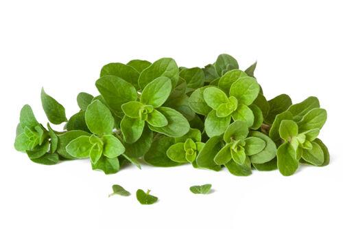 Az oregánó az egyik leghatékonyabb gyógynövény és természetes antibiotikum, amit valaha is tanulmányoztak.