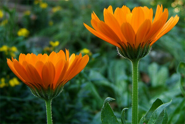 Gyógynövényhatározó a körömvirág.