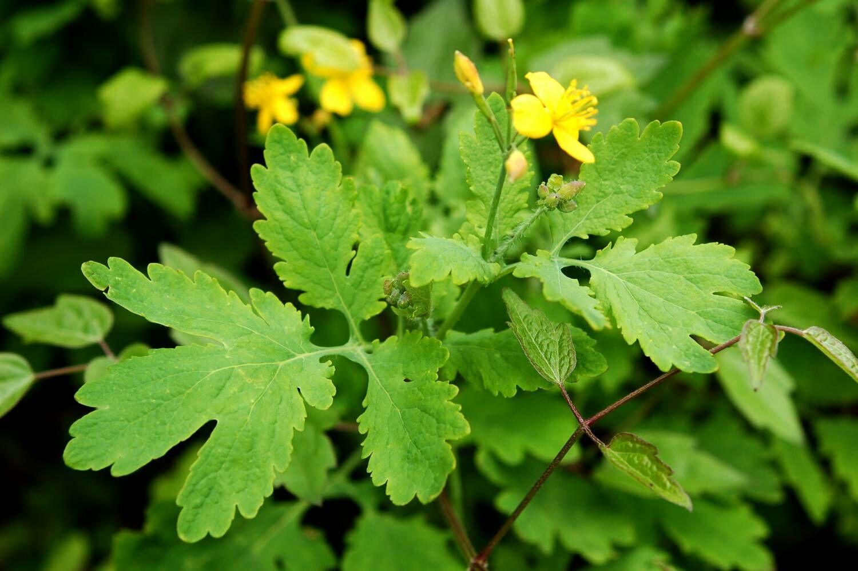 Mivel a mákfélék családjába tartozik, ezért problémákat, rendellenességeket okozhat a fogyasztása. A leveléből kiváló  forrázatot lehet készíteni, ami hatásos sebek gyógyítására.