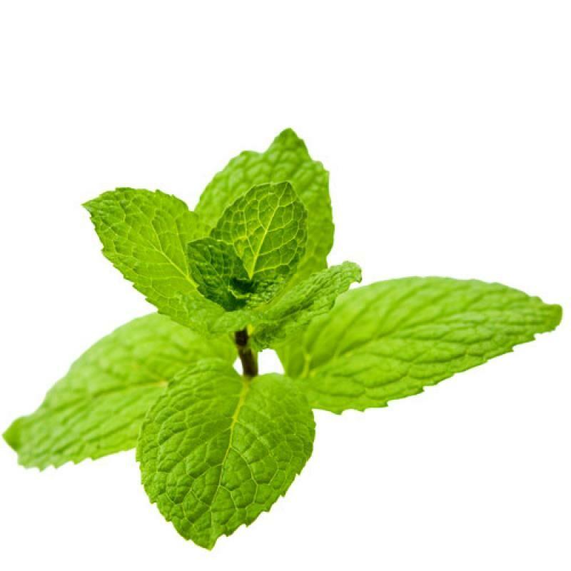 A menta legismertebb tulajdonsága az intenzív és élénkítő íz mellett a fertőtlenítő hatása.