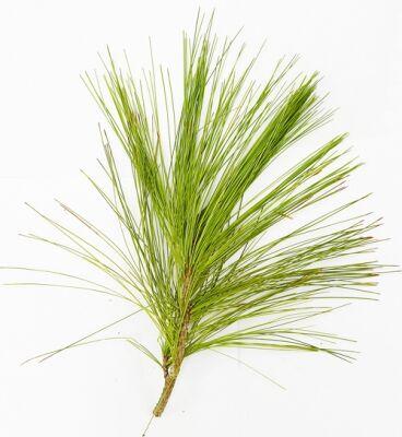 A rügyes hajtásvégét, a tűlevélből illóolajat állítanak elő, a fák törzséből kifolyó gyanta is nagyon hasznos, de a vízgőz - desztillációval előállított terpentinolaj is gyógyító hatású.