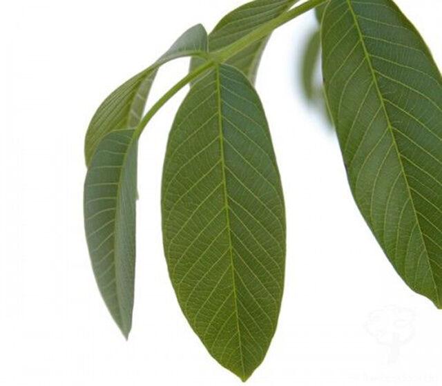 Sokan nem gondolnák, hogy a diófa levele milyen értékes anyagokat tartalmaz, és hogy akár különböző betegségek ellen is bevethetjük.
