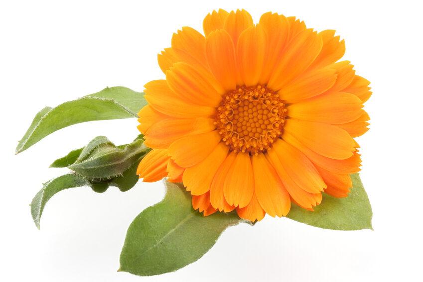 Hazánk egyik legnépszerűbb dísznövénye, mivel gondozása igen egyszerű, és színének köszönhetően megidézi a nyári napsütést.