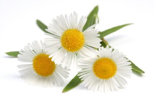 A legjobb gyógynövények fejfájásra.
