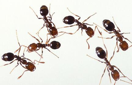 Űzd ki a hangyákat az otthonodból.