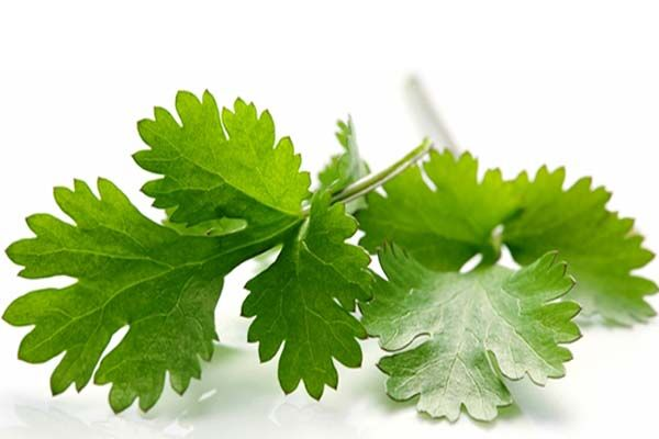 A koriander hatásai. A koriandernek minden része ehető, ám szinte csak őrölt formában vásárolható meg.