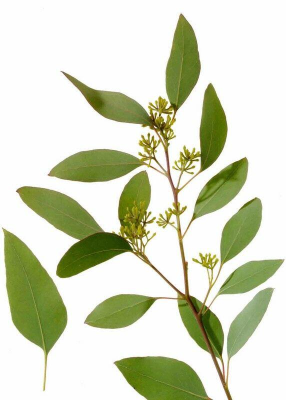 Ismerd meg az eukaliptuszt. Az eukaliptusz a legfontosabb gyógyhatásait az illóolajának köszönheti.