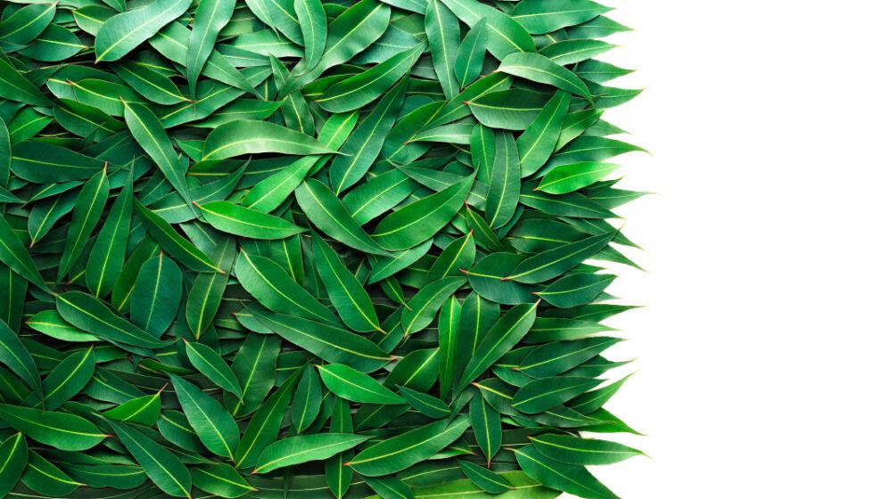 Fűszerek megfázásra. Eukaliptusz: Az eukaliptusz olaj segít enyhíteni a légzési nehézségeket. Hatásos lehet még az is, ha forró eukaliptuszos víznek a gőzét belélegezzük.