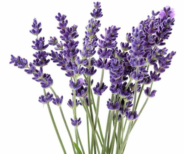 A levendula felhasználása. A levendula nemcsak kellemes illattal rendelkezik, hanem egy nagyon hasznos gyógynövény is, ami számtalan dologra hasznosítható.