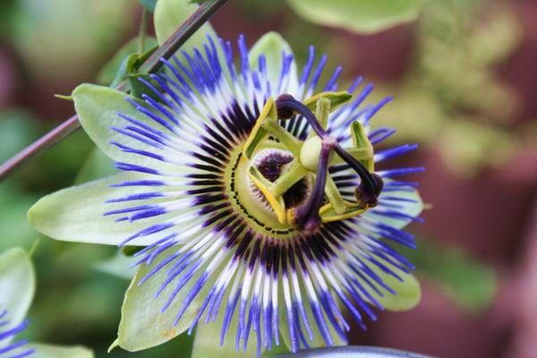 A golgotavirág felhasználása. Mivel a növény rengeteg flavonoidot tartalmaz, ezért kiváló görcsoldó hatással rendelkezik.