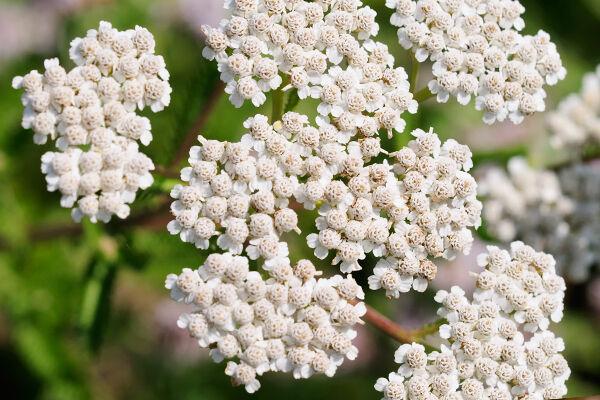 Gyógynövények a máj védelmére.