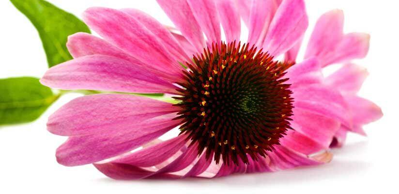 Az echinacea élettani hatásai. A kasvirág csökkenti a fertőzésnek az időtartamát, és a tüneteket is enyhíti.