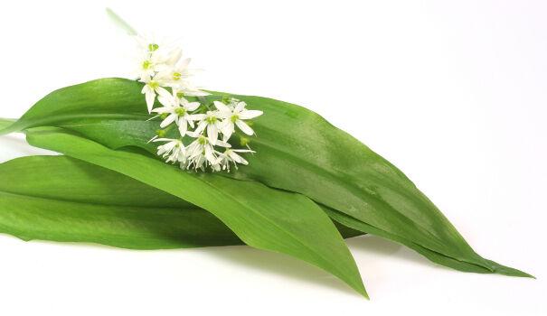 A medvehagyma hatásai. A medvehagyma levelei fokhagyma illatúak, hagymáját a fokhagymával azonos módon hasznosítják.
