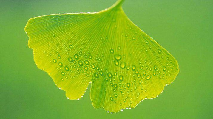 Ginkgo biloba vagy más nevén páfrányfenyő jótékony hatásai.