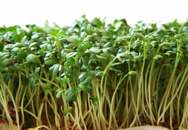 Kerti zsázsa hatásai. A kerti zsázsa népszerű gyógynövény, bárhol beszerezhető. Másféle elnevezései vadmustár vagy szépítőfű.