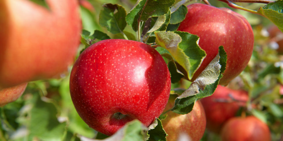 A turmixok fontos alapanyaga: az alma.