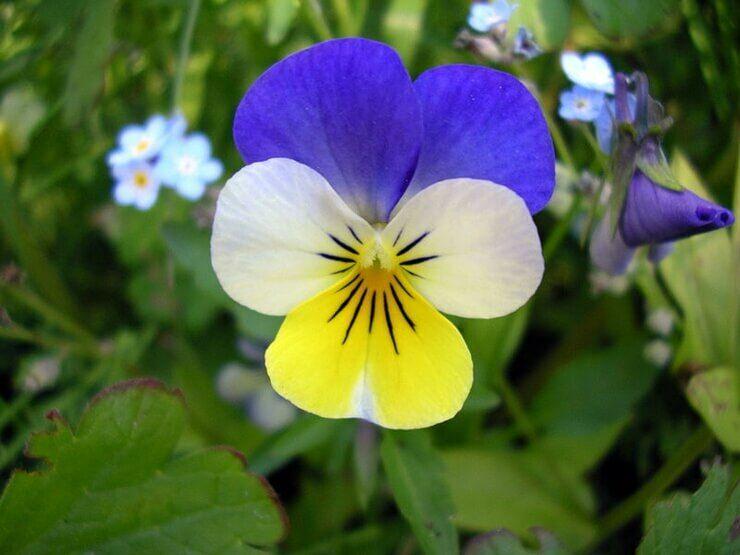 Ismerj meg 2 újabb ehető virágot. Lehet nem is gondoltad volna, hogy ezek ehetőek.