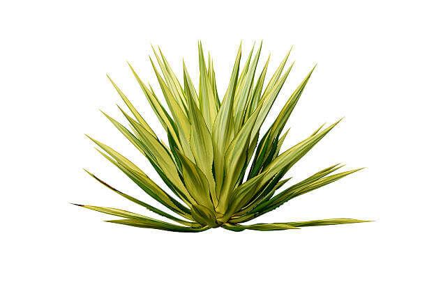Az agave is egy természetes édesítőszer.