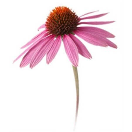 A kasvirág egy rendkívüli immunerősítő növény. Tudj meg róla kicsit többet!