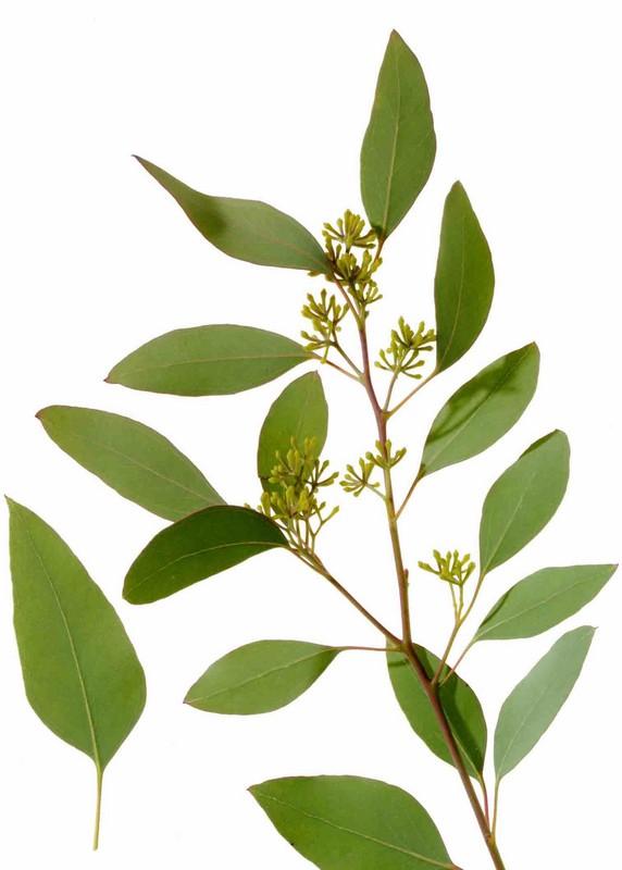Ismerd meg az eukaliptuszt