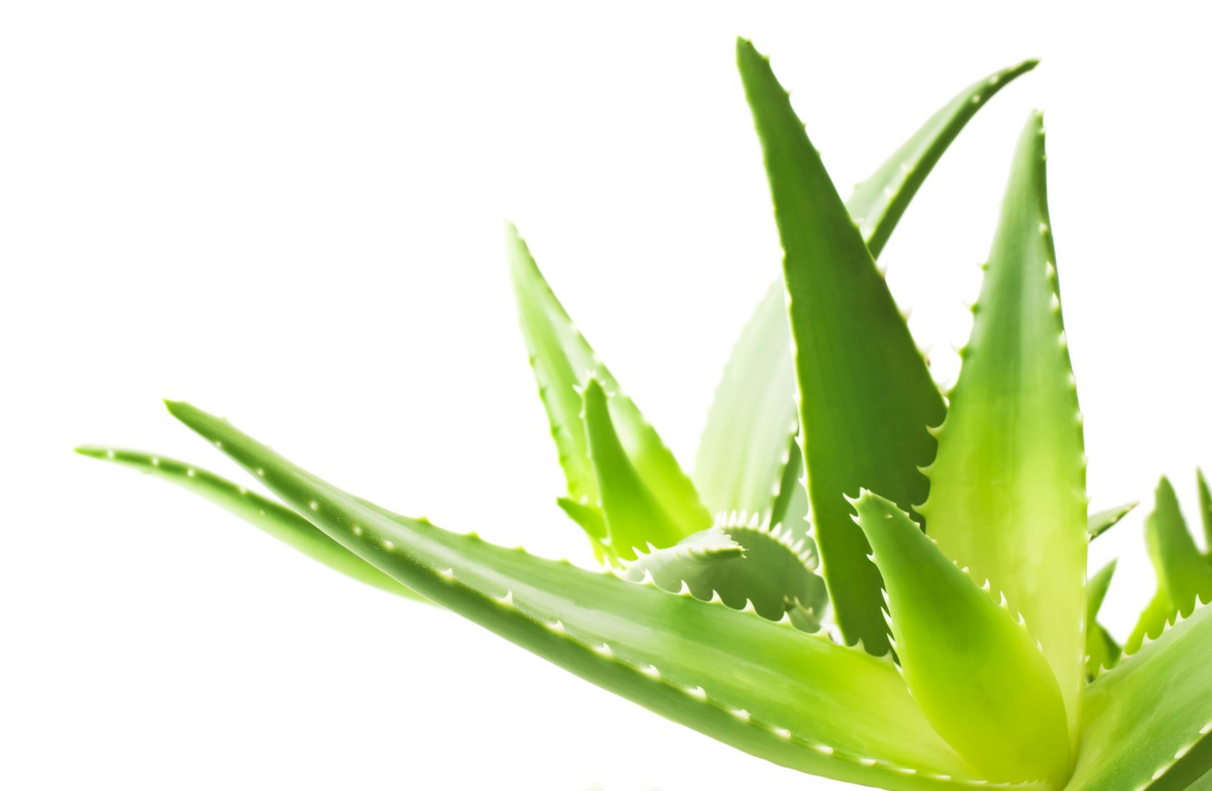 Aloe vera gyógyhatásai