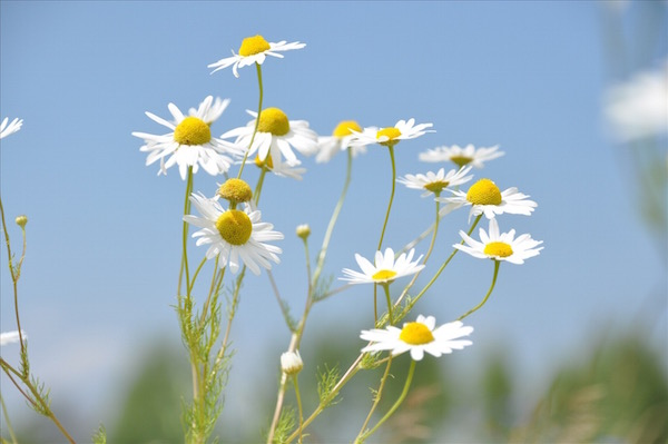 Néhány ehető virág.